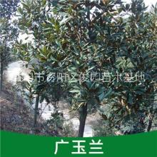 湖南广玉兰基地,广玉兰树苗价格,资阳广玉兰基地