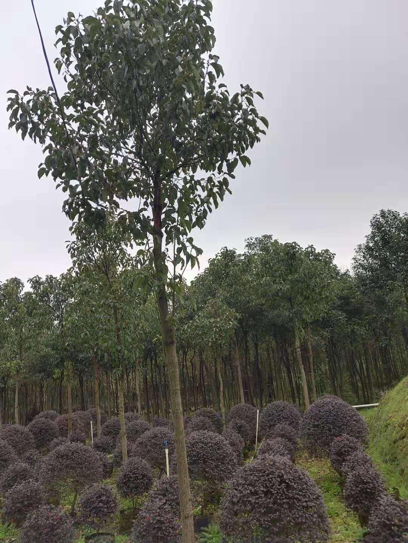 广西香樟树种植基地-广西香樟树批发价格【广西阳朔飞鹰苗木基地】