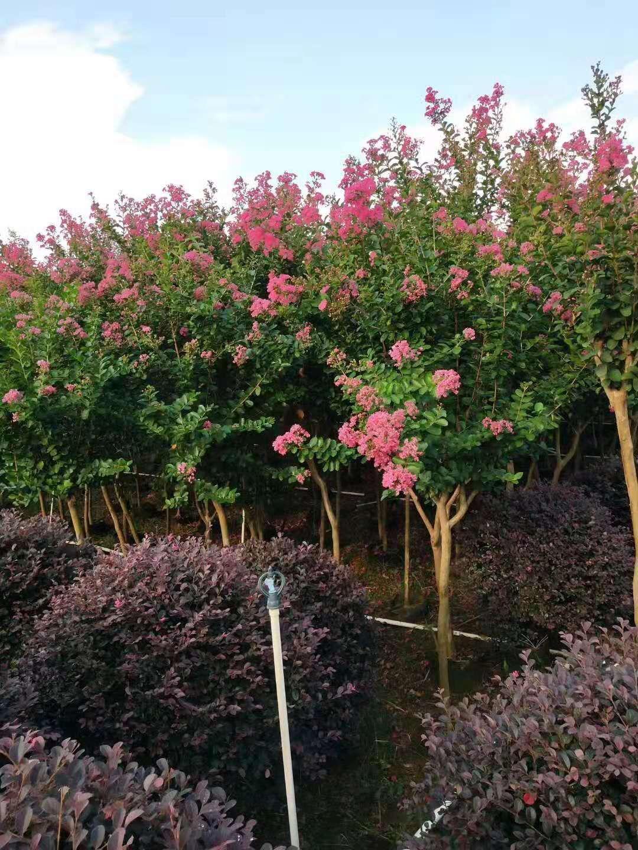 广西紫薇树种植基地-广西桂林紫薇树种植基地【广西阳朔飞鹰苗木基地】