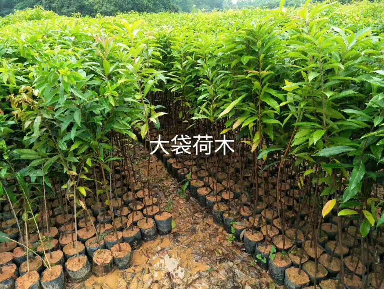佛山木荷种植批发价格