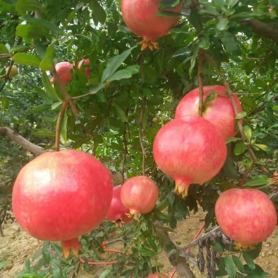 河阴突尼斯石榴—种植—批发商—供应商