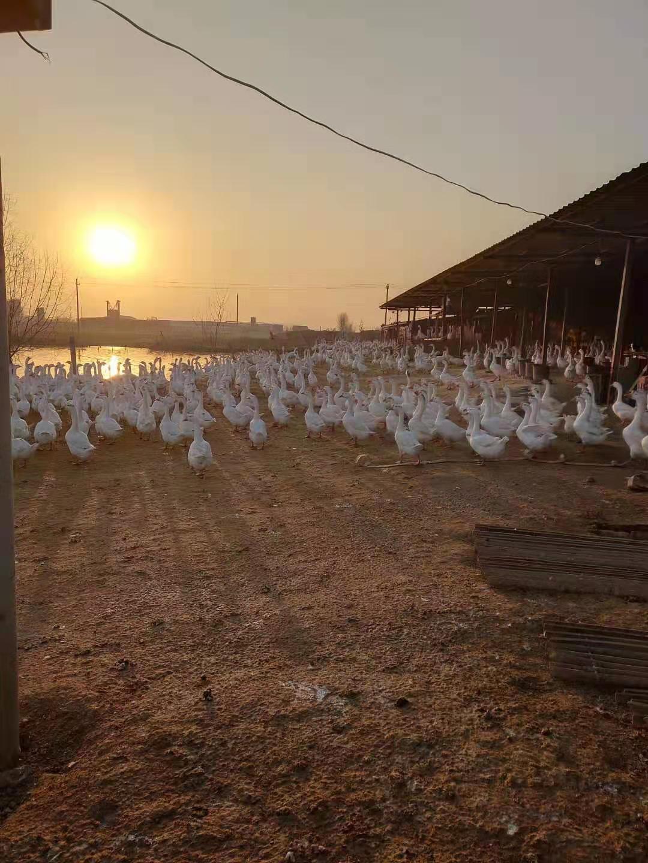 纯种大三花鹅苗市场价/纯种大三花鹅苗厂家 鹅苗养殖技术厂家  鹅苗养殖技术厂家