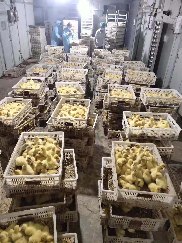 兆阳养殖场鹅苗批发价 泰州鹅苗供应 浙东白鹅 大种泰州鹅苗 生态养殖科学孵化高成活率