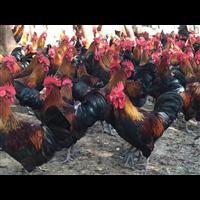 广西黑瑶鸡苗养殖_广西南宁黑瑶鸡苗养殖基地_【广西南宁市非凡禽业有限公司】