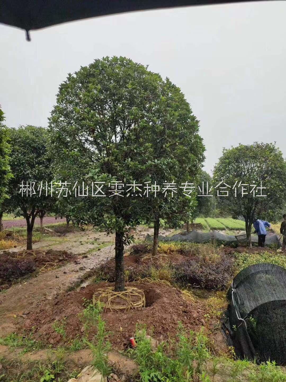 小色块苗种植基地   基地直销批发价18975566562