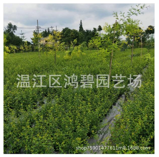 红花继木毛球种植批发基地