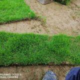 广西马尼拉草皮基地-广西马尼拉草皮批发价格-【友谊草坪苗木基地】