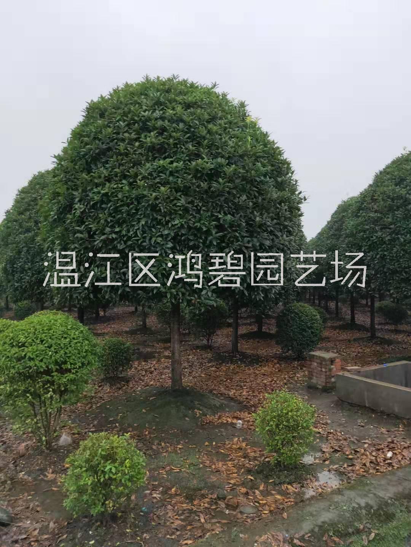 桂花苗木种植基地,四川桂花苗木,供应优质精品桂花树,桂花树价格
