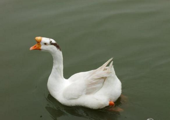 浙东白鹅养殖技术,浙东白鹅批发报价,浙东白鹅养殖基地