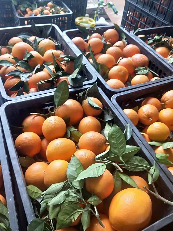 重庆纽荷尔脐橙子基地批发|哪家便宜|重庆秀山县文明水果股份合作社|13838165115