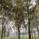 榉树、榉木 榉树、榉木云南省