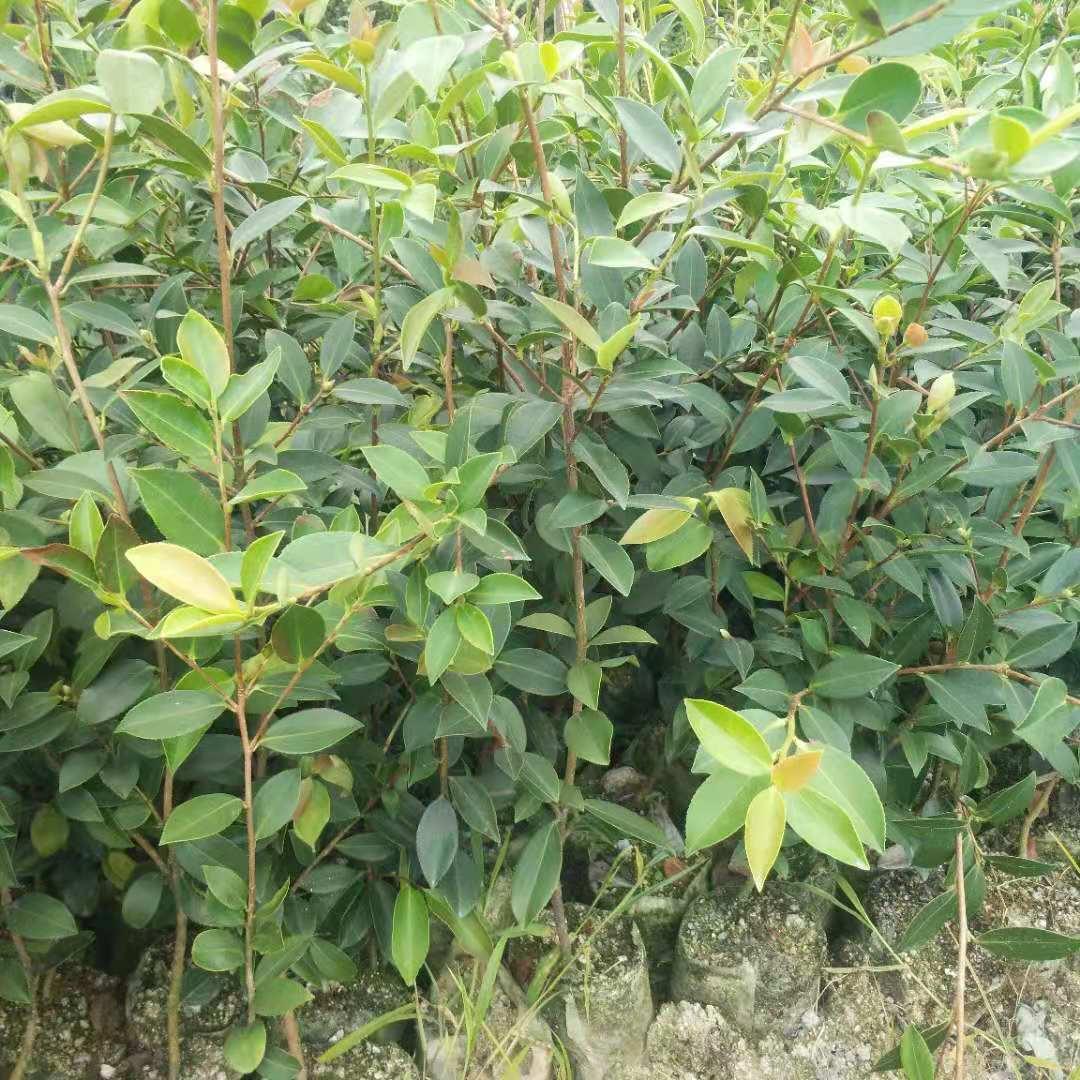 二年生杯子油苗,报价,种植园,热销【攸县勇宇油茶种植专业合作社】