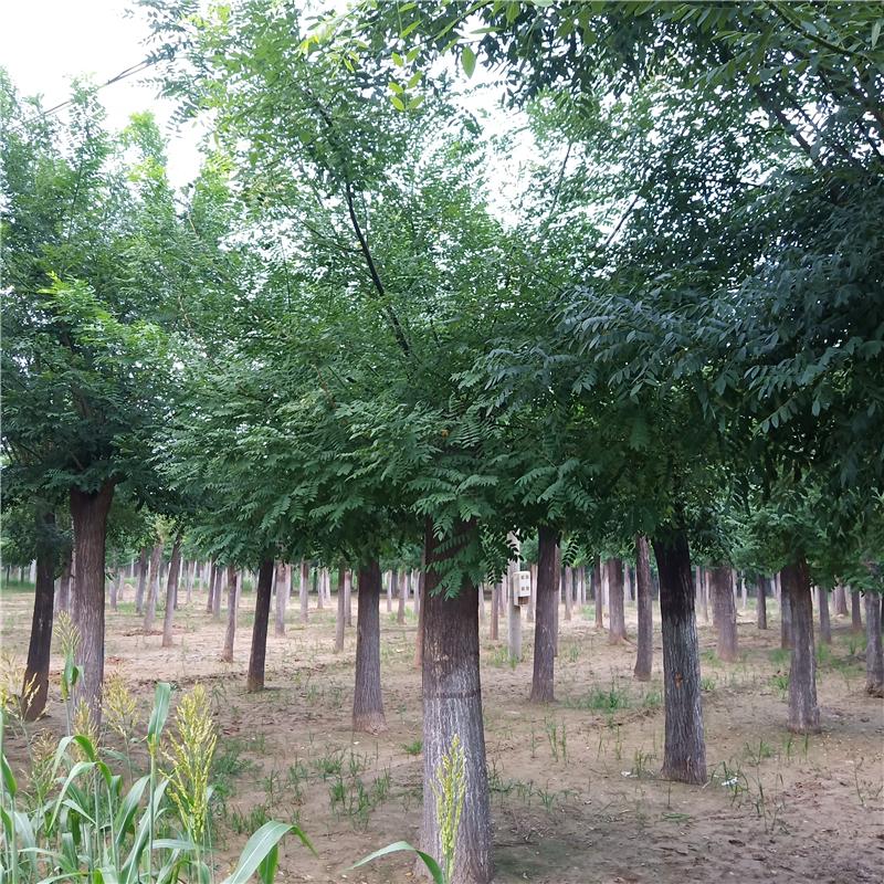 40公分国槐种植 国槐出售 绿化苗木秋季栽植技术