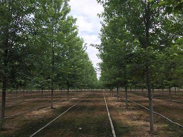 美国红枫养殖厂家,电话,销售,【山东丽枫园林有限公司】