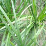 福建优质麦冬苗供应商、报价、基地【杭州萧山大地园艺有限公司】