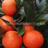 世纪红柑橘苗价格  世纪红柑橘苗 世纪红柑橘苗 湖南正在的世纪红