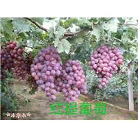 辽宁锦州北镇葡萄苗|种植基地|直销|批发价格报价|哪家好便宜