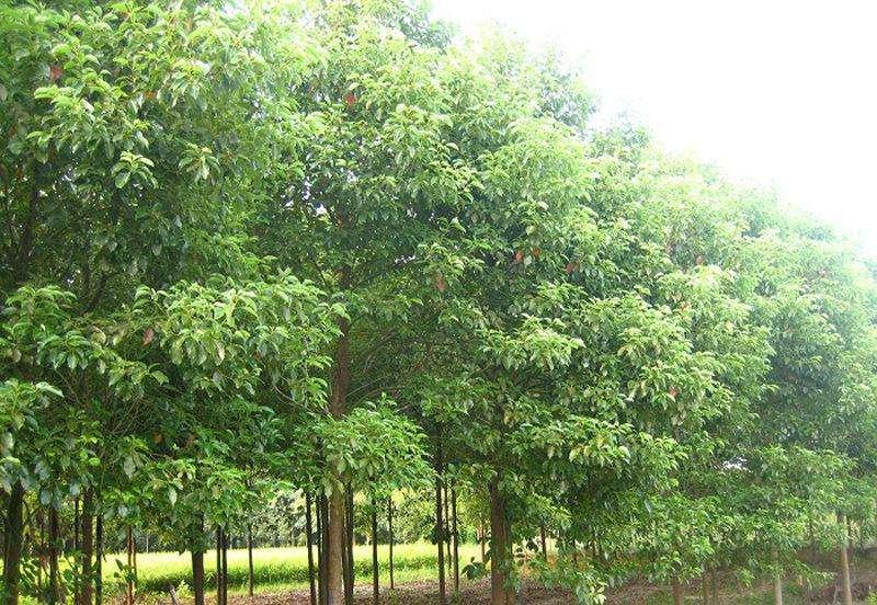湖南郴州10-30公分香樟树基地价格,郴州香樟丛生香樟树价格,郴州直销本樟树苗