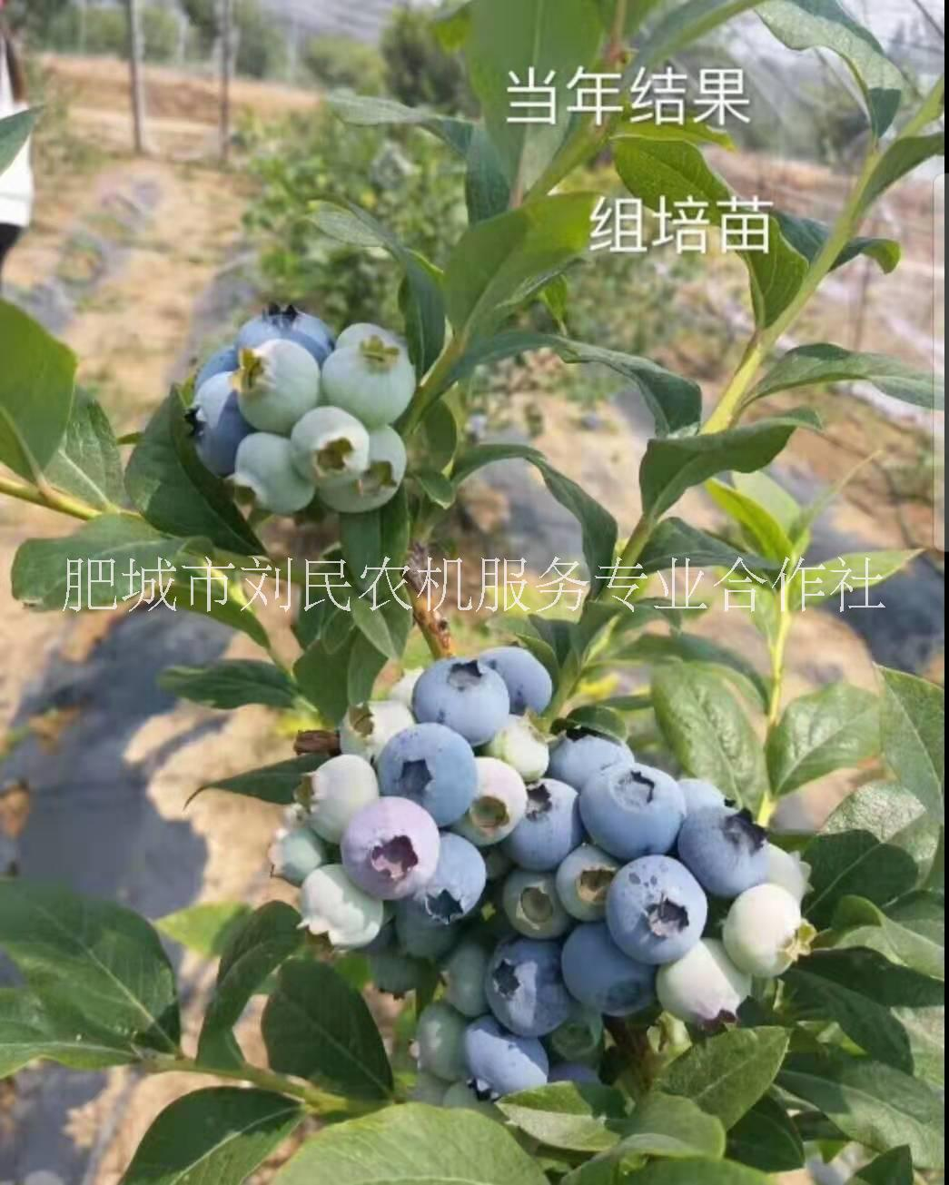 极丰产蓝莓 口味甜 抗寒 组培蓝莓苗 蓝莓价格 蓝莓品种 蓝莓苗苏斯兰