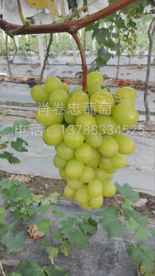 广西玫瑰香葡萄