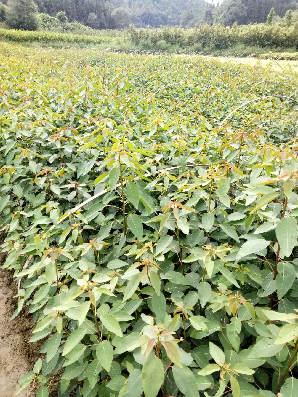 广东山乌桕袋苗种植基地直销价格