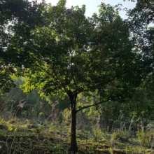 河北丛生蒙古栎苗圃,河北丛生蒙古栎市场价,河北丛生蒙古栎种植技术批发