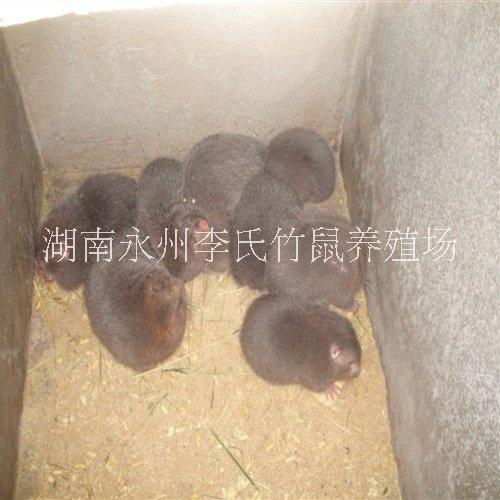湖南永州竹鼠回收电话,湖南竹鼠回收永州竹鼠批发,长期大量收购商品竹鼠
