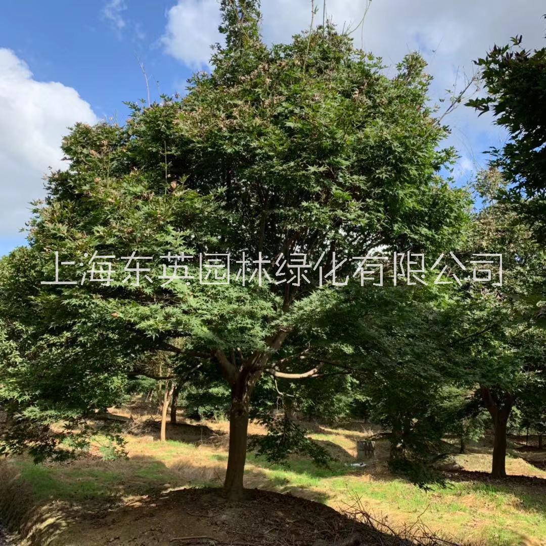 上海精品红枫生产厂家批发价格