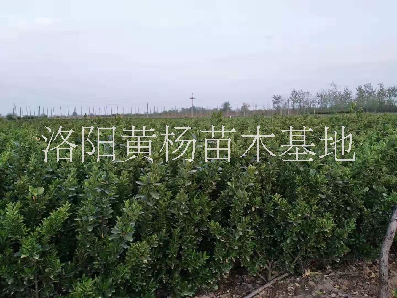 洛阳市大叶黄杨工程苗种植基地-大叶黄杨苗价格-批发各种规格大叶黄杨