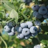 河南蓝莓苗种植园 山东蓝莓苗生产厂家 山东蓝莓苗直销商 蓝莓苗种植基地