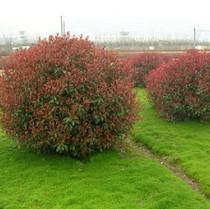 批发红叶石楠球-大量批石楠球-长沙市哪里有苗木基地