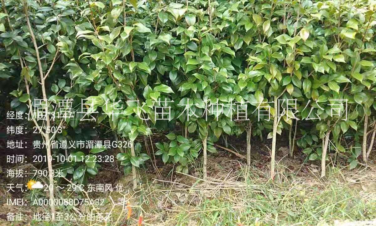 15公分茶花树价格-山茶花种植基地-毕节市苗木基地