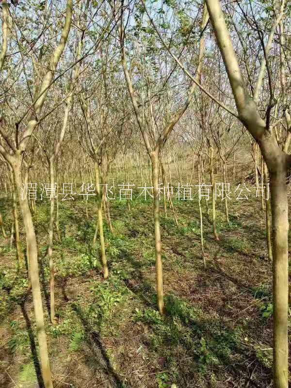 大量批发各种规格紫薇树-遵义市紫薇种植技术-价格-批发