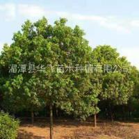 批发各种规格香樟树-贵阳市香樟价格-种植基地