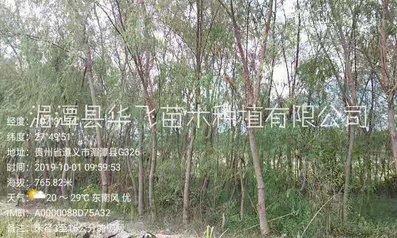 贵州遵义市杨柳价格-哪里有树苗批发-苗木基地-柳树