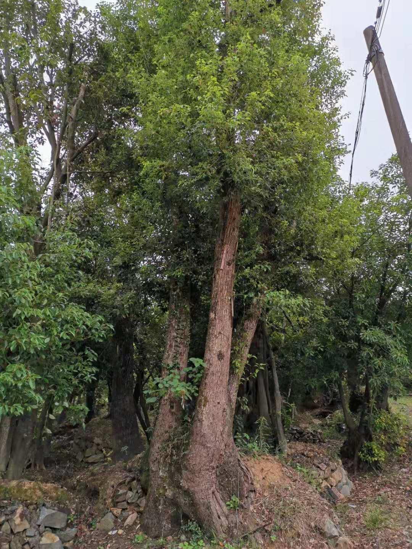 浙江多杆大香樟种植基地