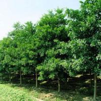 杜英种植基地-湖南苗圃场-批发苗木