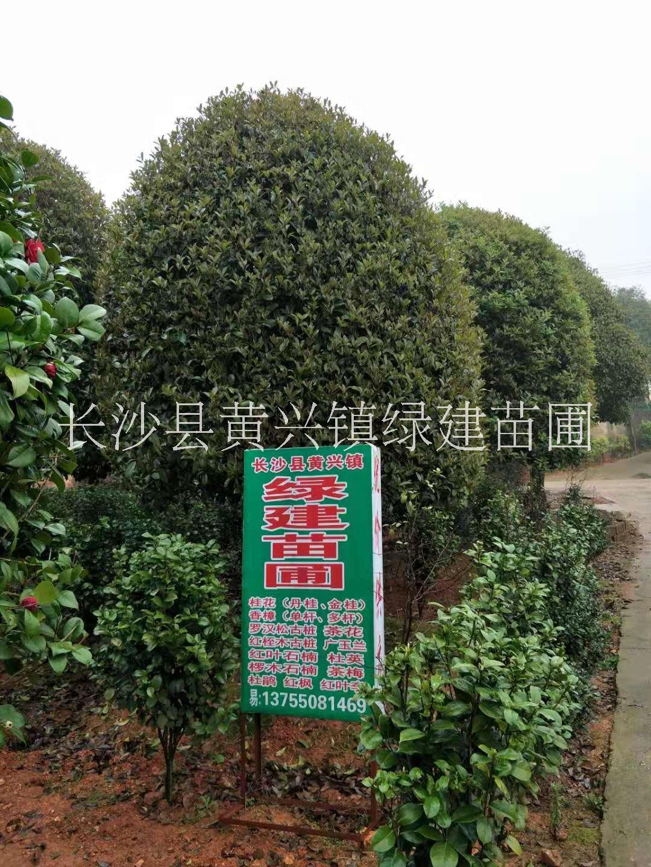 长期供应精品桂花树种植基地,湖南精品桂花树基地直销,长沙哪里有精品桂花树卖