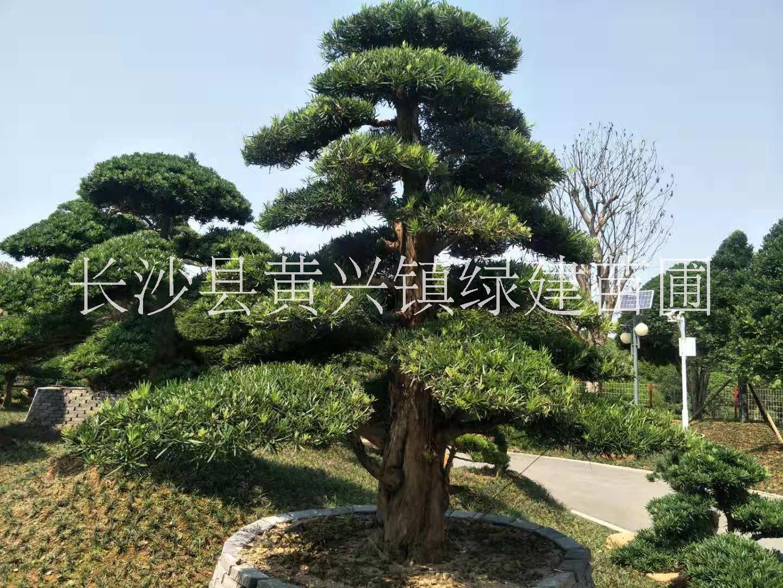 武汉市日本造型罗汉松价格-供应现货造型罗汉松-罗汉松栽培基地