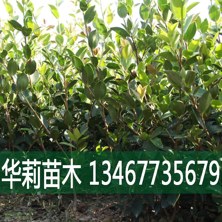 山茶籽树苗价格/批发/直销  大量出售,哪家好