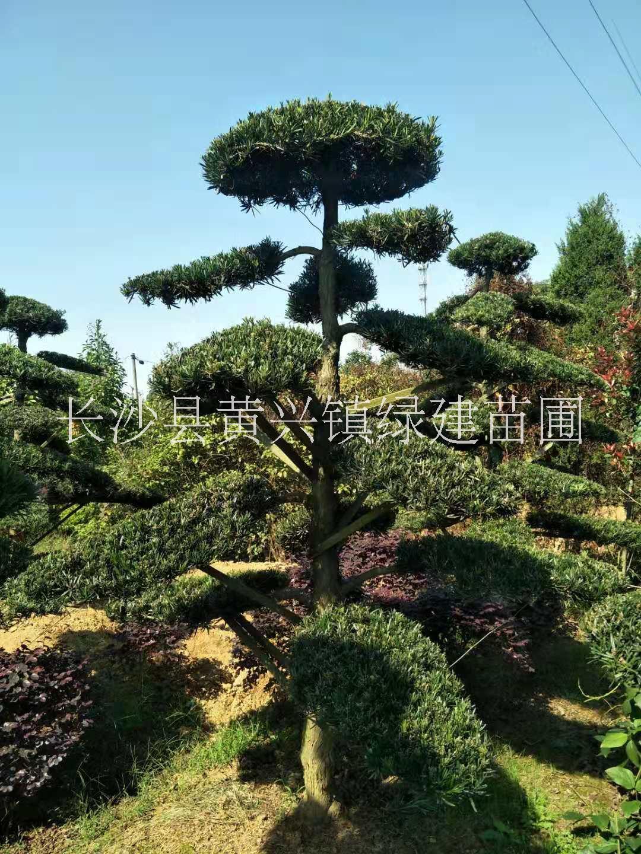 常德市造型罗汉松培育基地-罗汉松造型设计-造型树培育技术