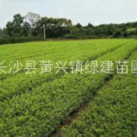 湖南长沙市绿化苗木批发市场,专业种植工程小苗,培育基地
