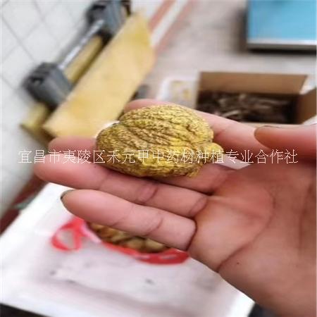 金果榄种苗种子块茎 金果榄地苦胆青牛胆种苗种子块茎