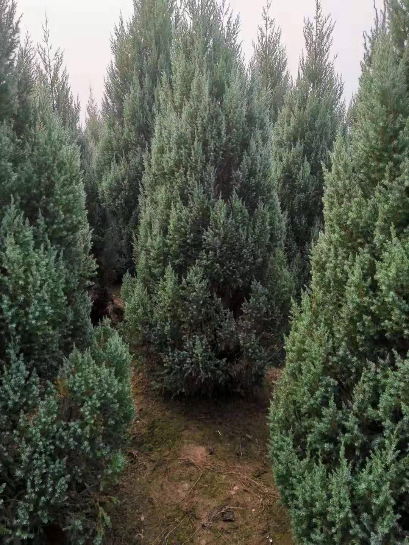 山西大同市2-4米塔柏价格 塔柏种植基地 优质蜀桧价格