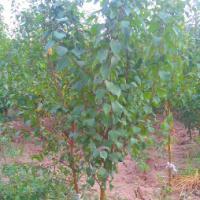 一 二年杏树苗 麦黄杏 一手货源