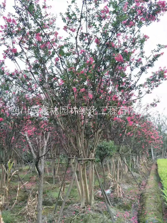 四川玫瑰红紫薇,成都国旗红紫薇,四川丛生紫薇基地,成都大红紫薇