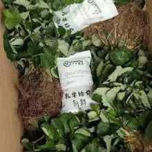广西桂林香水草莓苗批发,广西桂林香水草莓苗种植,广西桂林香水草莓苗价格图片