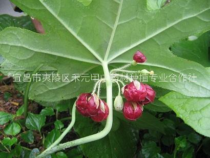 八角莲种苗八角莲种子
