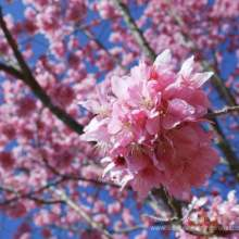 河南多肉红粉佳人、种植、基地、批发【福建三明牡丹樱花专业种植】