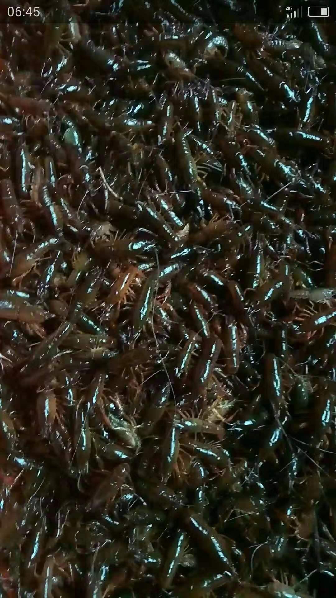 龙虾苗种养基地|温州小龙虾苗养殖场| 小龙虾养殖市场 龙虾苗养殖价格 龙虾苗种养基地